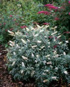 buddleia_davidii_white_ball.jpg