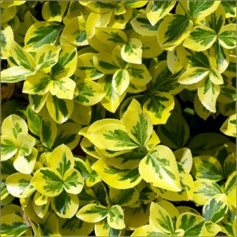 euonymus_fortunei_canadel_gold_277.jpg