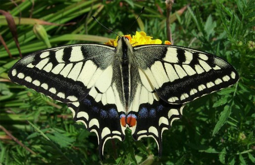 papilio_machaon_t_6.jpg