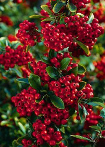 pyracantha_red_column.jpg